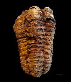 Trilobite Morocco