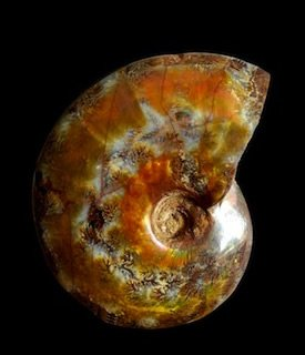 Ammonite Madagascar